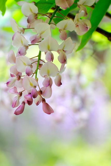 pink wisteria