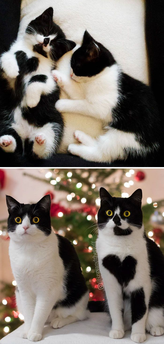 British Shorthair Sisters Then And Now and like OMG! get some yourself some pawtastic adorable cat shirts, cat socks, and other cat apparel by tapping the pin!