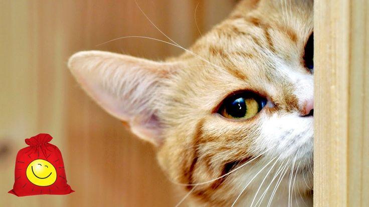 Самые умные коты. Сообразительные кошки (с 10:01 чёрный экран)