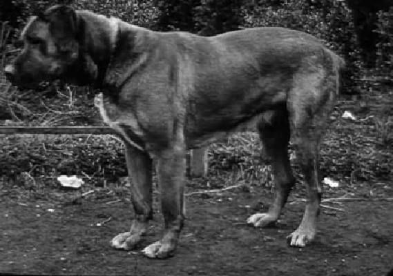 1922 Belgian Mastiff