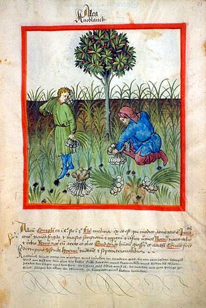 Tacuinum sanitatis-garlic.jpg