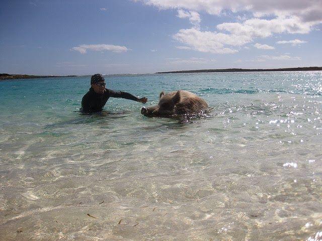 cochons nageurs des bahamas 4   Les cochons nageurs des Bahamas   porc photo natation nageur image ile cochon bahamas