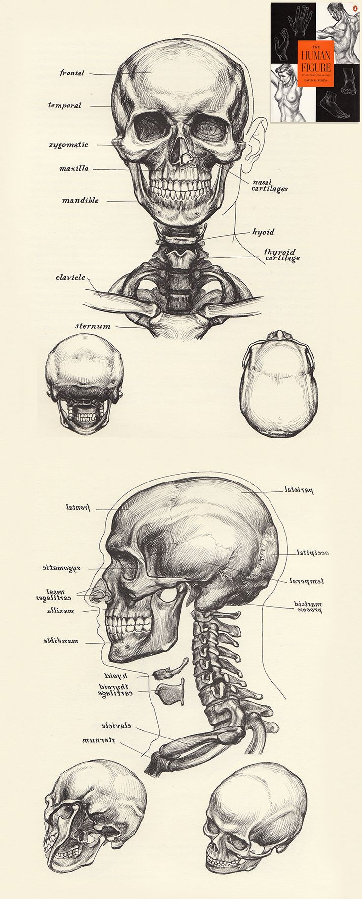 The Human Figure by David K.Rubins: The Skull