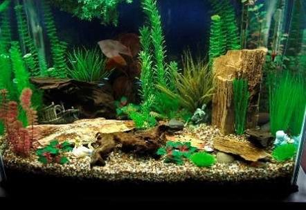 Peaceful community fish aquascaping pinterest for Peaceful freshwater fish