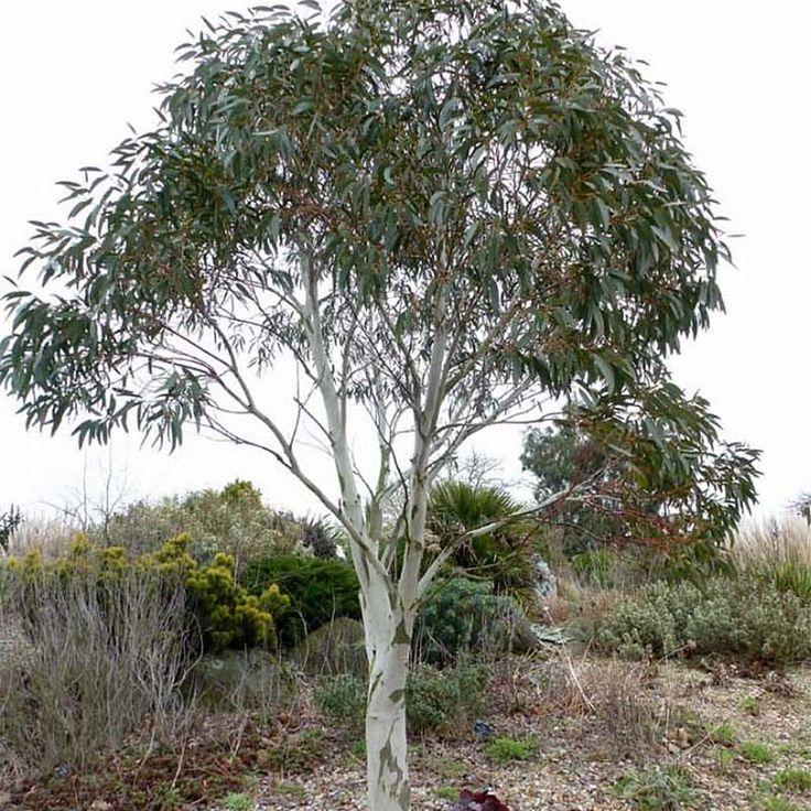 Eucalyptus niphophila - Gommier des neiges - Arbre persistant, rustique, aux longues feuilles vertes devenant grises.