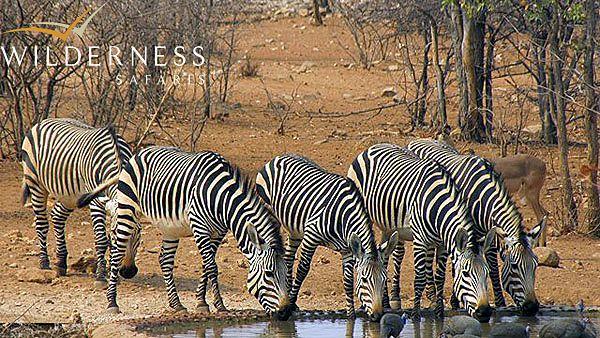 The Ongava Reserve – October 2013 Zebra arrive at camp waterhole #Africa #Namibia #Safari #WildernessSafaris
