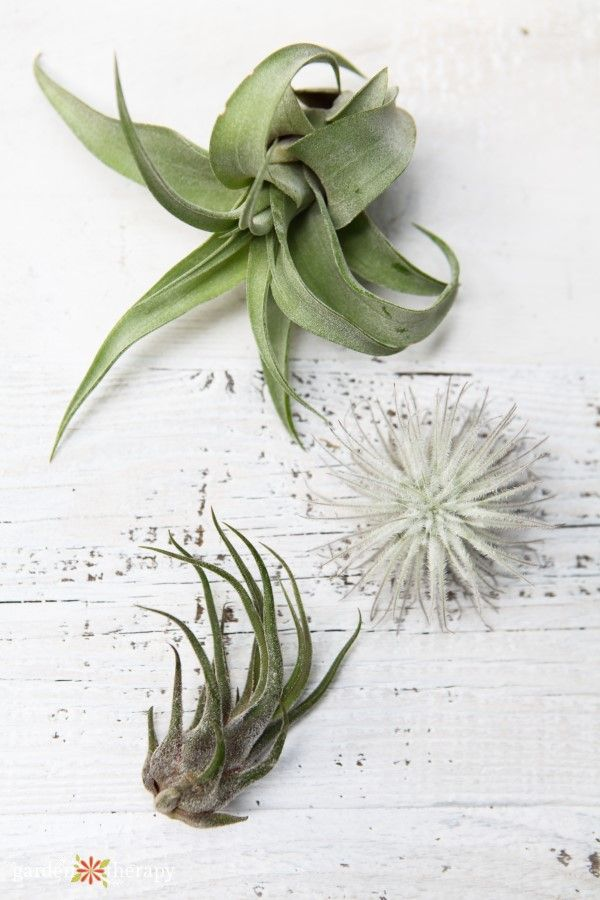 What Kind Of Tillandsia Do I Have Identify And Care For Common Air Plant Varieties Plants Indoor