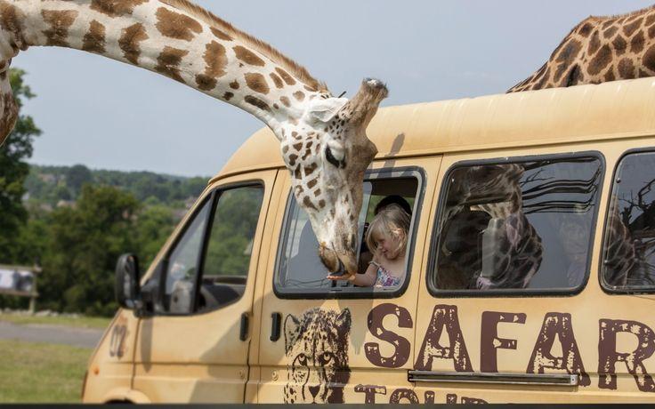 Alimentando uma girafa *-*