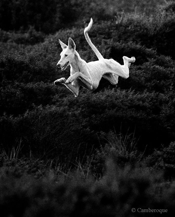 Greyhound in flight