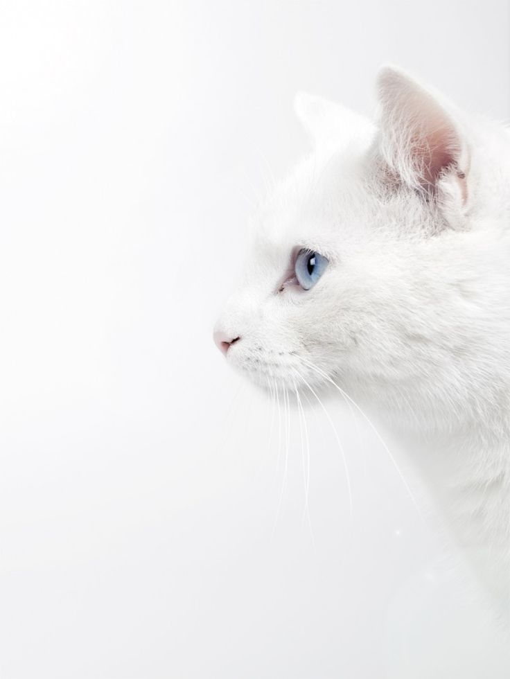 white pet cat on white canvas.