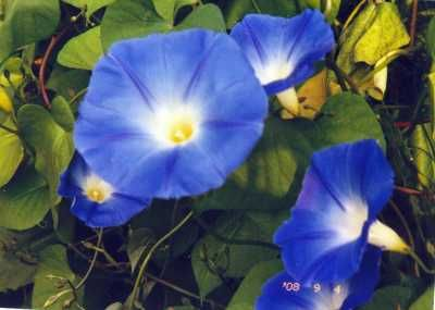 Morning Glories: How to Plant and Grow Morning Glory Flowers <3