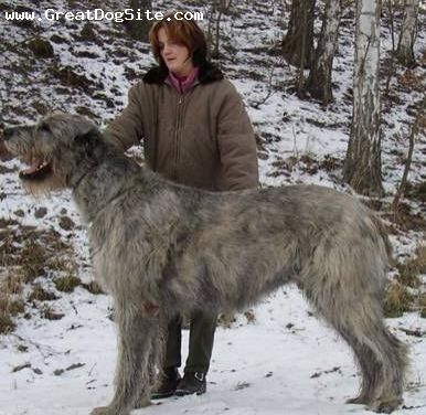 We had an Irish wolfhound - German shepard when I was a kid (along with a Beagle, and a Terrier - Cocker Spaniel - Poodle mutt). He was great - huge, ferociously protective against other animals but sweet to people. He was a great dog, and I have a soft-spot for the breed thanks to him.