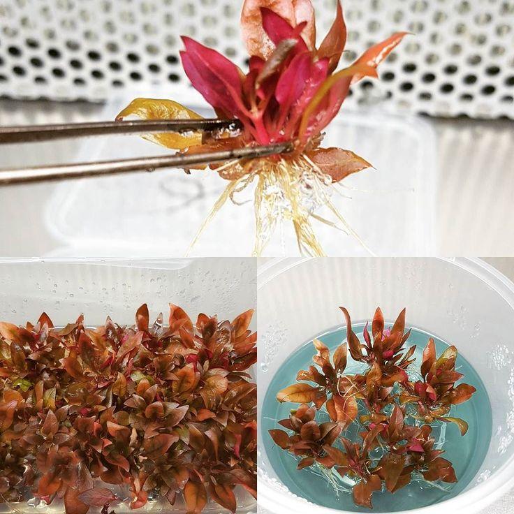 Alternanthera reineckii 'Mini'. One of best selling aquarium plant lines. #alternanthera #fishyplants