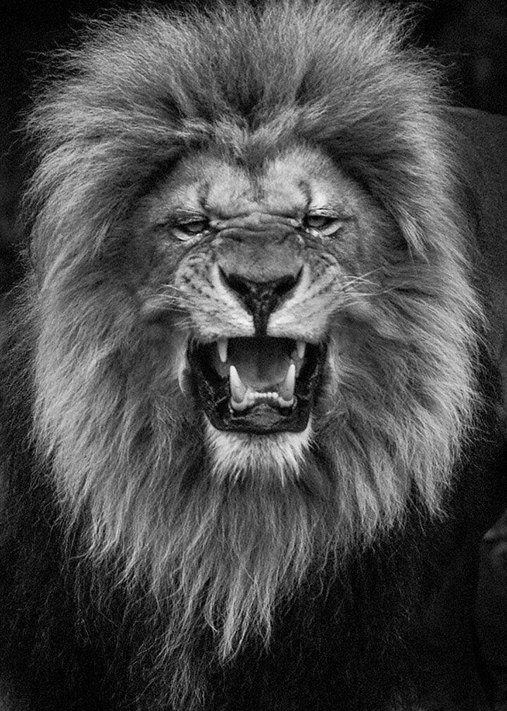 Les 25 meilleures idées concernant Tatouages De roi Lion ...