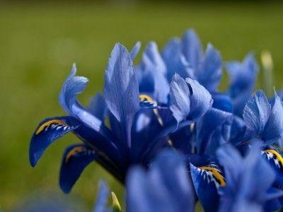 Transplanting Iris: Tips For Dividing Iris Plants