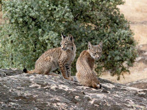 Wild Iberian lynx (Lynx pardinus) female, one year, on rocks ...