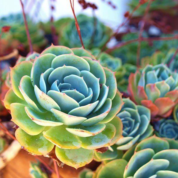 Τα παχύφυτα είναι από τα ευκολότερα φυτά για να καλλιεργηθούν, αλλά αυτός δεν είναι ο μόνος λόγος που είναι τόσο δημοφιλή! Η μεγάλη ποικιλία χρωμάτων, τα εντυπωσιακά σχήματα αλλά και οι διαφορετικές υφές τα καθιστούν ιδιαίτερα αγαπητά στον κόσμο που τα προτιμά για τις γλάστρες ή τους κήπους του. Χαρακτηρίζονται από την ικανότητά τους να …