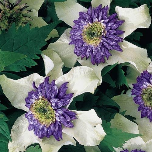 florida sieboldii large flowering clematis. Black Bedroom Furniture Sets. Home Design Ideas