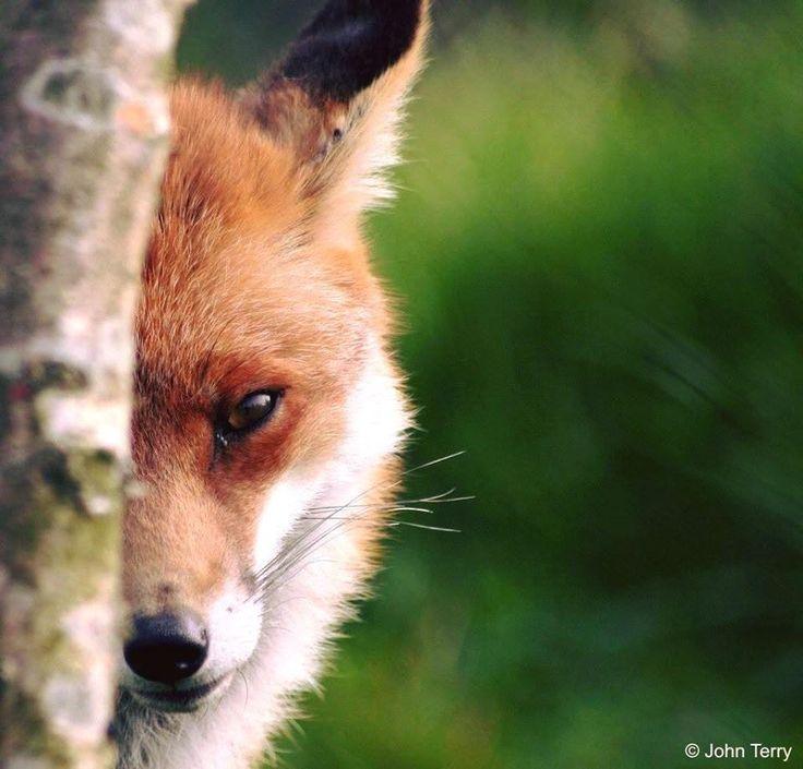 Fox by © John Terry