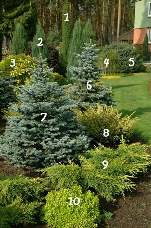 1. Juniperus communis 'Stricta'      6. Blue spruce 'Maigold'  2. The rocky juniper 'Blue Arrow'        7. Blue spruce 'Glauca Compacta' 3. Deren white 'Aurea'     8. Yew 'Washingtonii'  4. The European larch 'Pendula'      9. The average juniper 'Gold Star'  5. Rough fir 'Compacta'      10. Oregano 'Thumbles'.