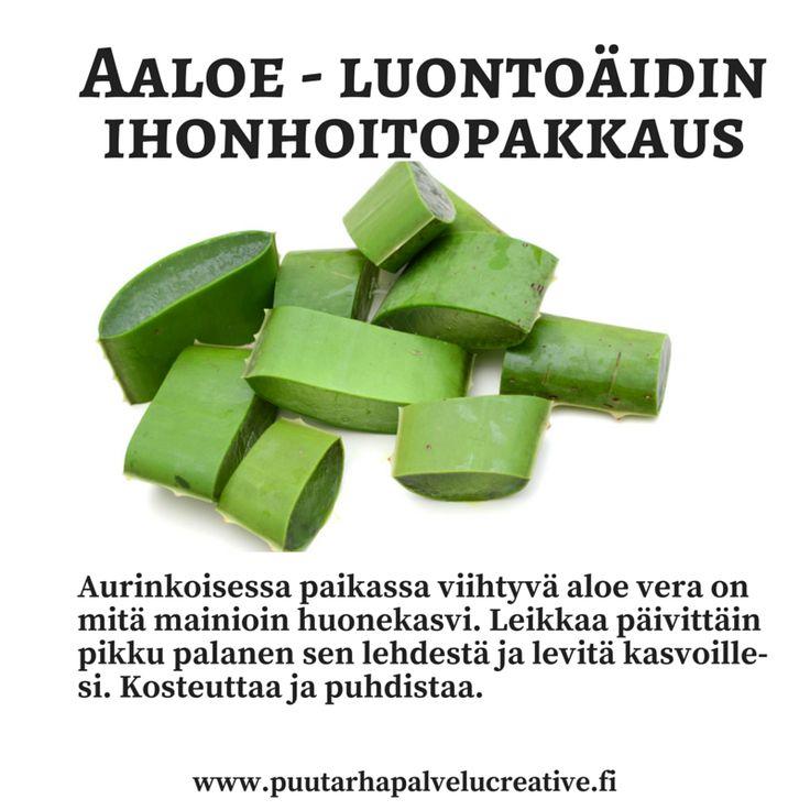 Aloe vera on mitä mainioin kasvi. Aavikkokasvina sen aineenvaihdunta käynnistyy yöllä ja se tuottaa happea yöllä kun suurin osa viherkasveista torkkuu... Lisäksi lehtien geeli on mitä mainioin ihonhoitotuote. Lievästi desinfioivana se puhdistaa ja geelimäisenä kosteuttaa ihoa.