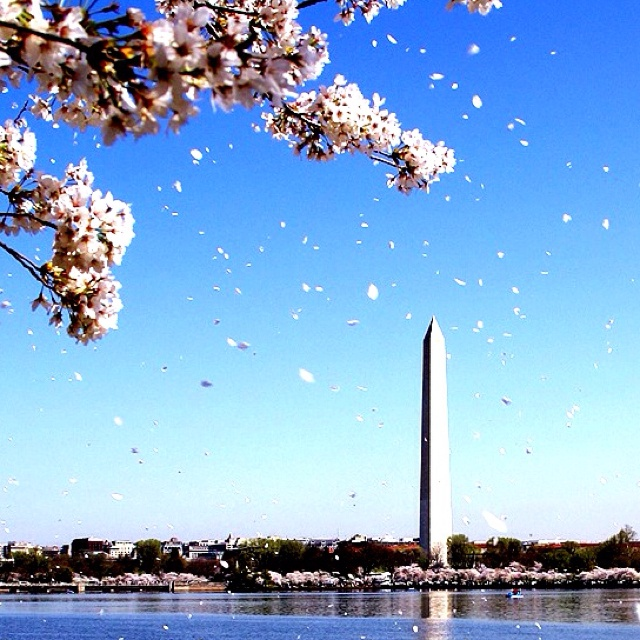DC ~ Cherry Blossom I went as a kid but I want to visit again