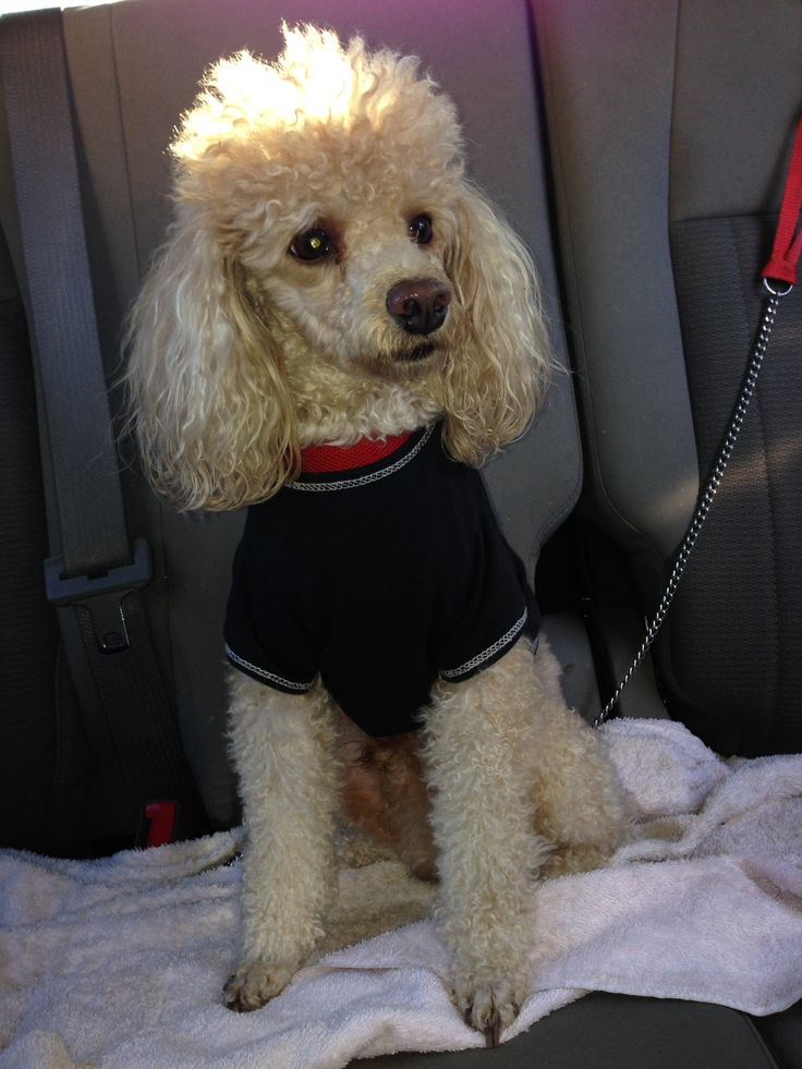 17 Best Images About Poodles On Pinterest French Poodles