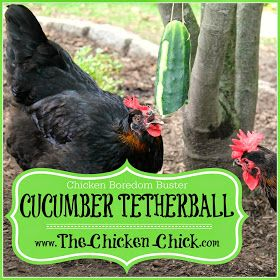 Cucumber Tetherball can be offered to chickens as an occasional snack while doing double-duty as a boredom buster- for the chickens and for you!