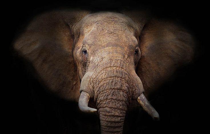 Afrikanischer Elefant © Martin Harvey / WWF