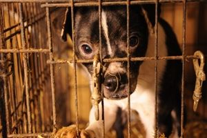 no puppy mill dog. July 21 is No Pet Store Puppies Day. Or ever until all shelter dogs find a home. No to backyard breeders.