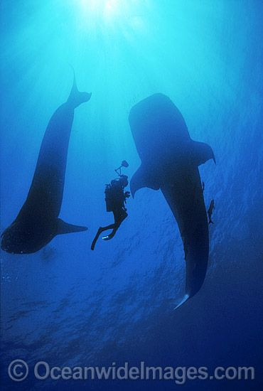 THE DREAM JUMPER'S PROMISE - Find out what happened the day Hank went surfing off Maui and never returned. amzn.com/B00AA4FAJC  scuba diving whale shark - Google Search