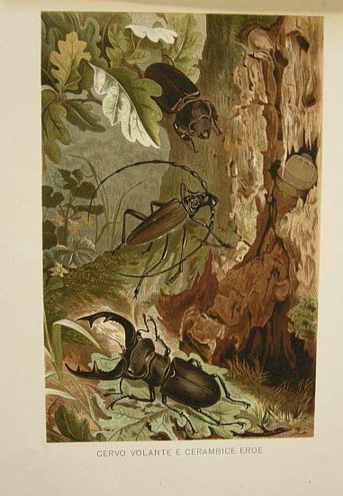 Cervo volante e cerambice eroe. s.d. (ma 1900 ca.). Storia natule - Etologia - Animali -  Insetti -  Stampa - Scienza -