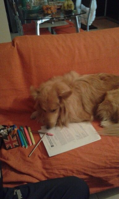 Studying collie