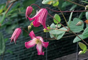 ph roslina 0409 clematis texensis Odoriba