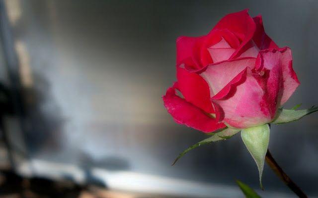 رد جوري احمر متحرك ورد جوري احمر وابيض ورد جوري احمر رومانسي مسكات ورد جوري احمر ورد جوري احمر وابيض طبيعي ورد جوري احمر رو Red Rose Flower Rose Wallpaper Rose