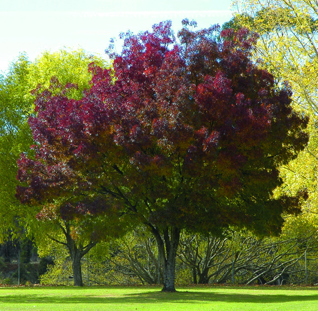 Fraxinus cultivars: Ash trees are extremely hardy and drought tolerant trees that come in a hge range of sizes, shapes and colours.