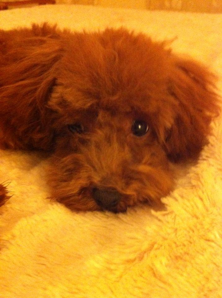 Mi Lola , Poodle apricot