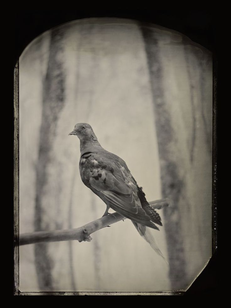 Century After Extinction, Passenger Pigeons Remain Iconic—And Scientists Hope to Bring Them Back  The 100th anniversary of the death of Martha, last of her kind, finds biologists dreaming of preventing or reversing extinctions.