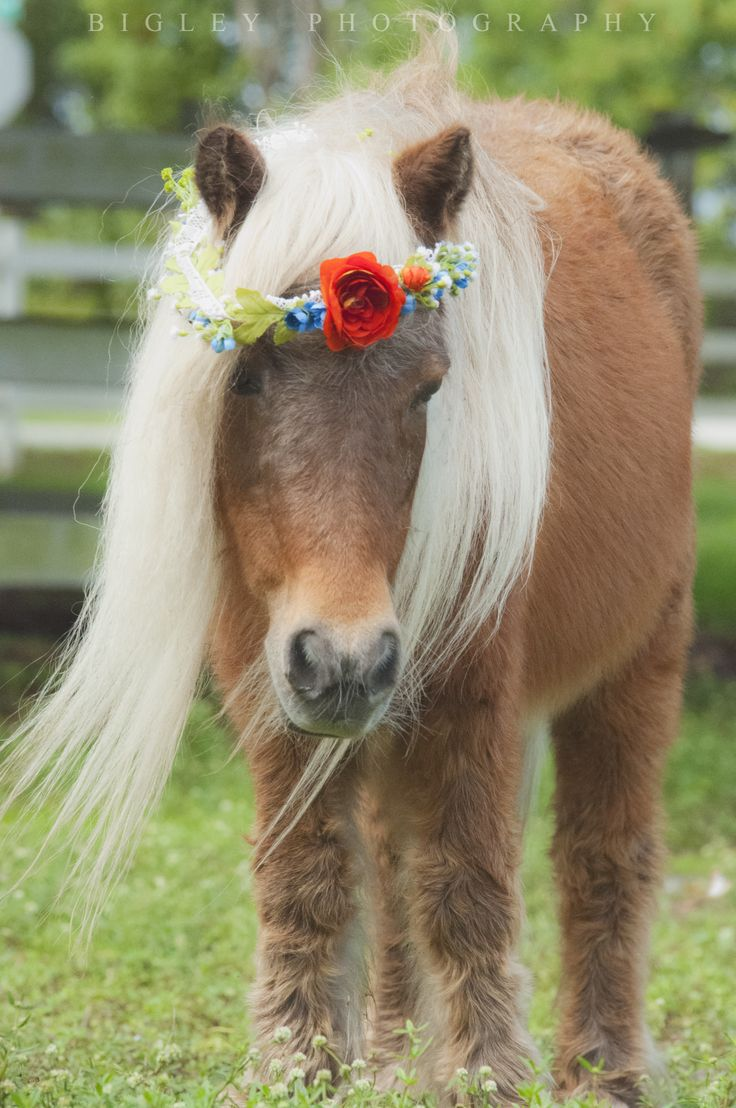 how to train miniature horses for tricks