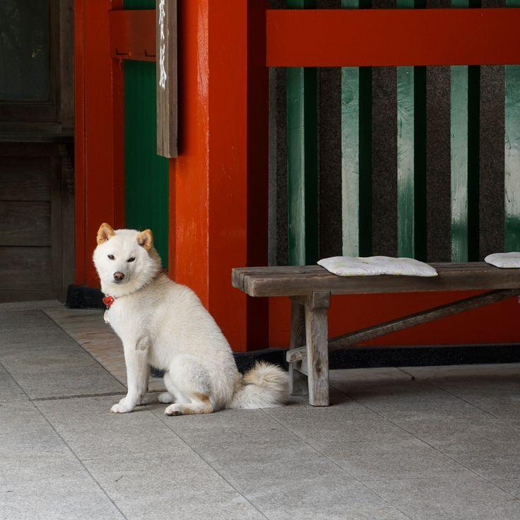 Japanese Dog Koyasan
