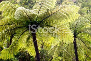 Ponga Tree Fern Canopy, New Zealand Royalty Free Stock Photo
