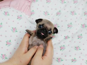 Miniature tea cup Pug Puppies | Mini Puggle Puppies