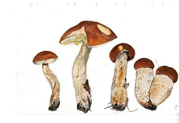 Roger Cans, Bolets orangés, série sur les champignons, gouache, 2008 / ©Musée du Vivant - AgroParistech