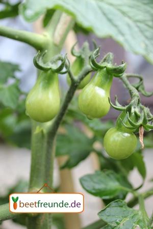 Gelbe Tomaten sind etwas Besonderes. Yellow Pearshaped setzt noch einen drauf. Im Moment ist sind ihre  zudem noch birnenförmigen Früchte zwar noch relativ klein und grün, aber wenn sie dann reif sind schmecken sie sehr aromatisch und werden im Durchmesser ca. 2,5 - 3 cm groß.  Die Reife setzt mittelfrüh ein und hält bis zum Frost an.   Sie gedeiht in Gefässen und auf dem Balkon gut, am liebsten sind ihr warme, sonnige Stellen.