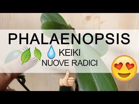 Orchidea Phalaenopsis - Nuove radici sul KEIKI - YouTube