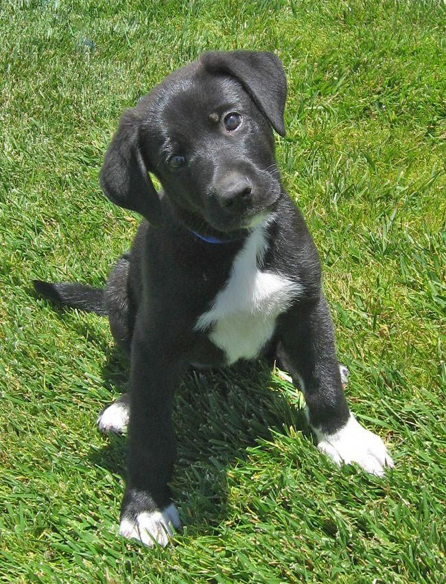 Nick Von Shelly Is An Adorable 7 Week Old Shepherd Lab Mix Puppy