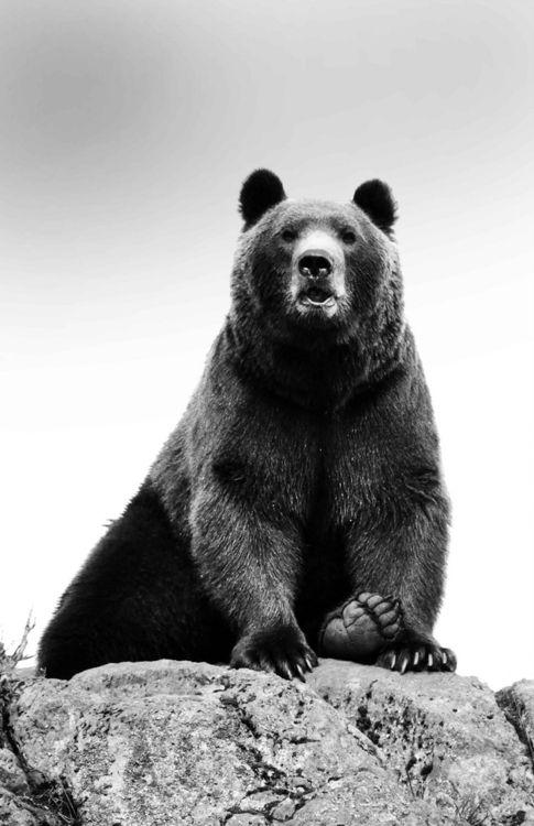 animals bear