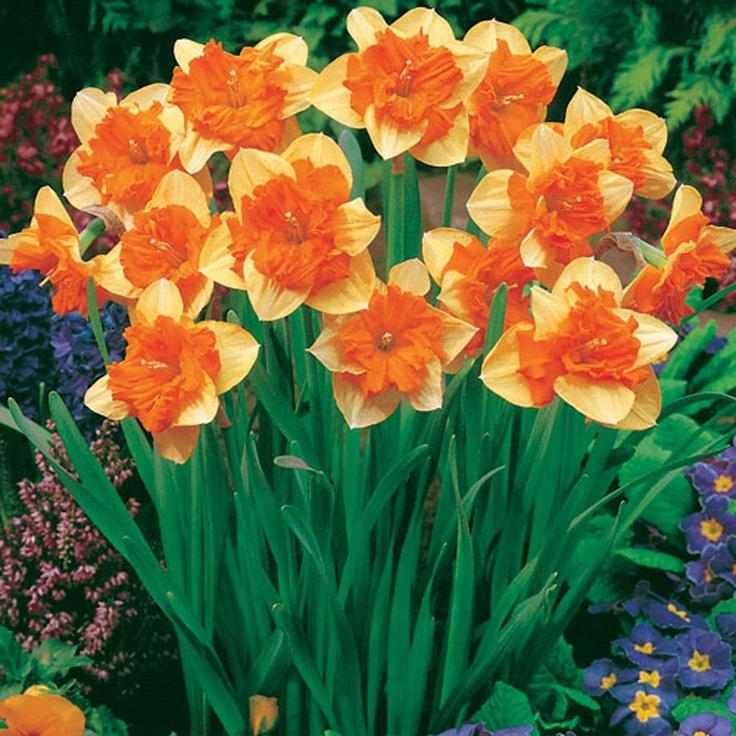 Daffodil Mondragon: Daffodil Mondragon, Mondragon Daffodil, Bulbs Daffodils, Flowers Daffodil, Beautiful Flowers, Flower Gardening, Daffodils Flowers