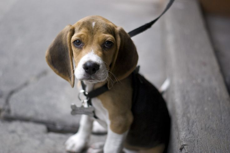 Have a Beagle And Carry On : Photo