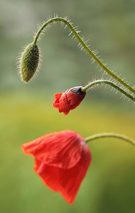 Poppy by Kasia MYCATHERINA Pietraszko